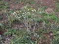Ammobium alatum plant10 (14332682804).jpg