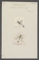 Ammophila - Print - Iconographia Zoologica - Special Collections University of Amsterdam - UBAINV0274 043 07 0002.tif