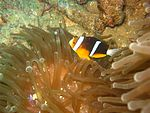 Amphiprion chrysopterus 1.jpg