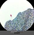 Anagallis foemina sl15.jpg