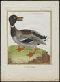 Anas boschas - 1700-1880 - Print - Iconographia Zoologica - Special Collections University of Amsterdam - UBA01 IZ17600359.tif