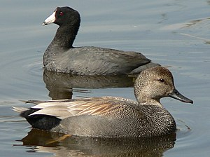 Union Bay Natural Area - Gadwall (Anas strepera) male with American Coot (Fulica americana) behind on West Pond, UBNA