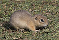 Anatolian Ground Squirrel - Spermophilus xanthoprymnus 02.jpg