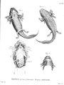 Anatomy-Ambystoma-mexicanum-Humboldt-Zoologie-T12p252.png