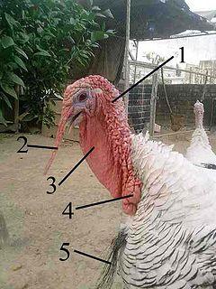 Caruncle (bird anatomy) Wikimedia disambiguation page