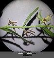 Anchusa arvensis subsp. orientalis sl20.jpg