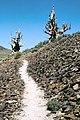 Ancient Bristlecone Pine Forest, California 1989 15.jpg