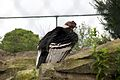Andean Condor at Chester Zoo 1.jpg