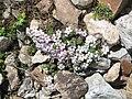Androsace alpina01.jpg
