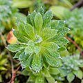Androsace sarmentosa in La Jaysinia (3).jpg