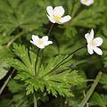 Anemone flaccida (3 flowers s4).jpg