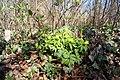 Anemone ranunculoides 00737.jpg