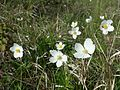 Anemone sylvestris sl6.jpg