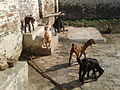 Animals kept as a source of livelihood.jpg