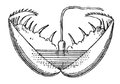 Anodonta cygnea glochidium.png