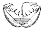 Isojärvisimpukka