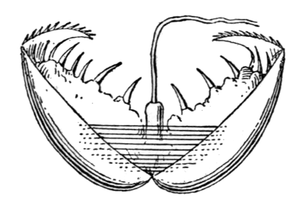 Glochidium - A drawing of the glochidium of the swan mussel (Anodonta cygnea). The larva is 0.35 mm long