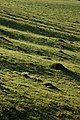 Ant hills and ridge and furrow - geograph.org.uk - 1119374.jpg