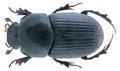 Aphodius (Colobopterus) haroldianus (Balthasar, 1932) (32766011870).png