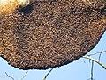 Apis dorsata - Giant honey bee on Tetrameles nudiflora on Makuta Virajpet road (22).jpg