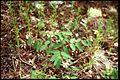 Apocynum androsaemifolium 3-eheep (5097206497).jpg