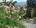 Apocynum androsaemifolium var androsaemifolium 5.jpg