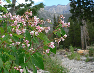 <i>Apocynum androsaemifolium</i> Species of plant