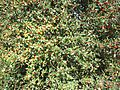 Aquifoliales - Ilex aquifolium 3.jpg