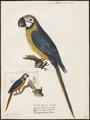 Ara ararauna - 1842-1855 - Print - Iconographia Zoologica - Special Collections University of Amsterdam - UBA01 IZ18500089.tif