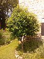 Arbuste non identifié 20150619 121935 - 04.jpg