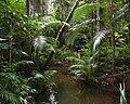 Archontopheonix-alexandrae-littoral-rainforest.jpg