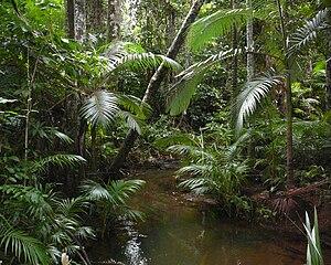 Archontophoenix alexandrae - Image: Archontopheonix alexandrae littoral rainforest