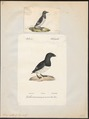 Arctica alle - 1700-1880 - Print - Iconographia Zoologica - Special Collections University of Amsterdam - UBA01 IZ17800321.tif