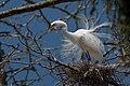 Ardea alba -Morro Bay Heron Rookery-8c.jpg