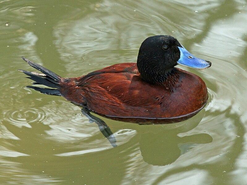 Argentine Blue Bill Duck Penis 67
