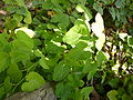 Aristolochia clematitis-Jardin des plantes 01.JPG