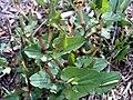 Aristolochia pistolochia Habitus2 12April2009 DehesaBoyaldePuertollano.jpg