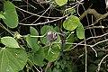 Aristolochia ringens 3819.jpg