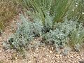 Artemisia austriaca sl17.jpg