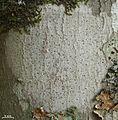 Arthonia susa - Flickr - pellaea (3).jpg
