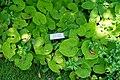 Asarum canadense - Asticou Azalea Garden - Northeast Harbor, Maine - DSC03518.jpg