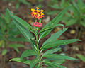 Asclepias curassavica (Mexican Butterfly Weed) W IMG 1573.jpg