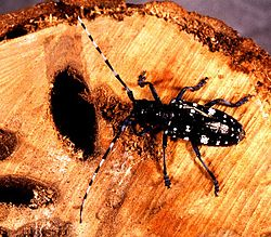Asian longhorned beetle.jpg