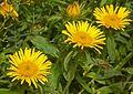 Asteraceae - Inula hirta-1.JPG