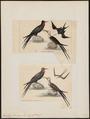 Atagen aquilus - 1700-1880 - Print - Iconographia Zoologica - Special Collections University of Amsterdam - UBA01 IZ18000187.tif