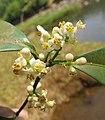 Atalantia racemosa 11.jpg