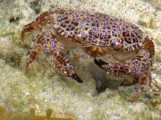 <i>Zosimus aeneus</i> species of crustacean
