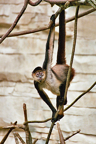 Geoffroy's spider monkey - Prehensile tail can be useful when feeding