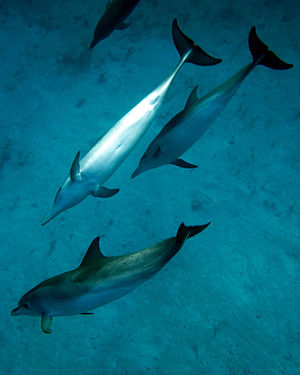 Atlantic spotted dolphin - Near South Caicos, Turks and Caicos Islands