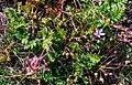 Atlas roslin pl Iglica pospolita 5232 6956.jpg